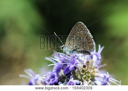A Thymian ante bläuling, a sml butterfly.