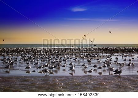 a huge flock of birds on the beach. Malibu pier at sunset California. view of huge flock of seagulls on beach of Malibu