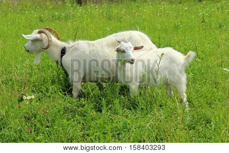 White goat grazing in the field. Little goat on the chain.Mother goat with goat two goats.