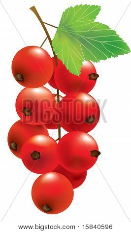 Vector Red Currant