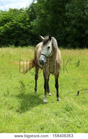 A horse in the pasture. A brown horse standing on a grass on a background of trees.