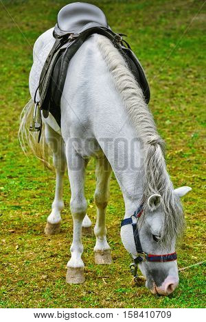 Image of Saddled White Horse Eating the Grass