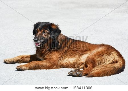 Image of Stray Dog Lying on the Pavement
