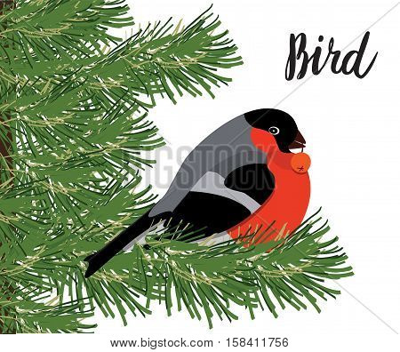 Bullfinch with rowanberry sitting on conifer branch isolated on white background vector illustration