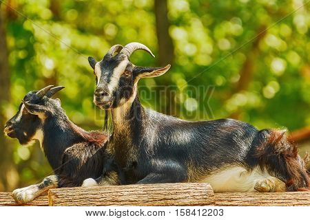 Goats On Stack Of Wood