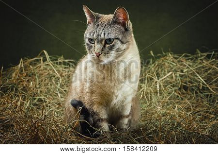 Outbred Domestic Cat Ditting in the Hay