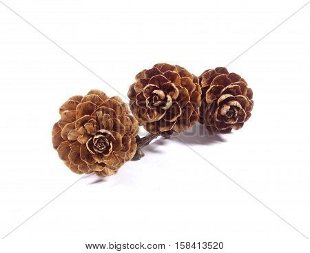 Three natural dry flower shaped pine cones with branch isolated on white background, Close-up