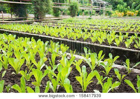organic romaine lettuce farm ready to be harvested