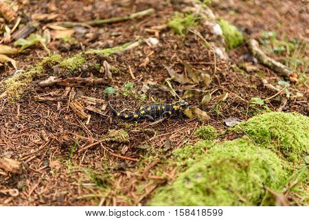 a wild fire Salamander in the Forest