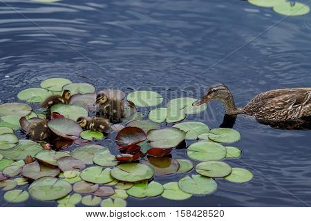 Mother duck swimming with her ducklings in a pond