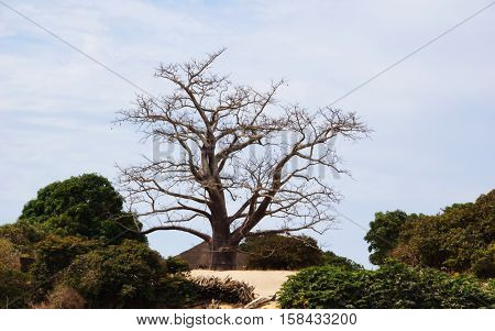 A kapok tree on the coast of Atlantic ocean in Gambia west Africa
