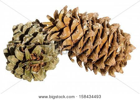 Cones of a Manchurian cedar (Korean pine). Ripe resinous cones.