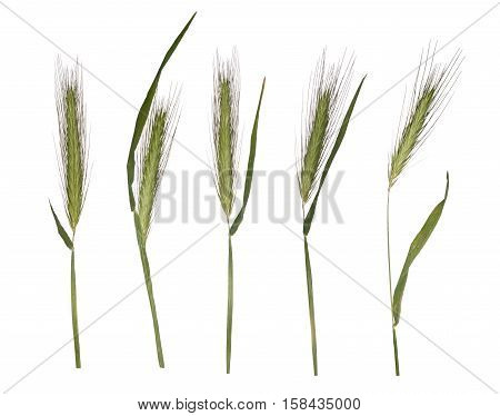 Young wheat sprouts isolated on white background. Herbarium of the spikelets