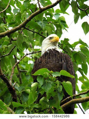 Bald Eagle in tree near Homer Alaska
