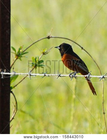 Orchard Oriole sitting on wire fence singing
