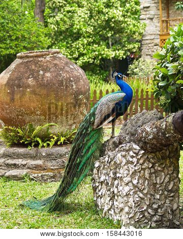 Peacock in St Augustine Florida on rock