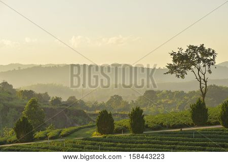 beautiful greenary view of mountain and tea plantation in sunshine.