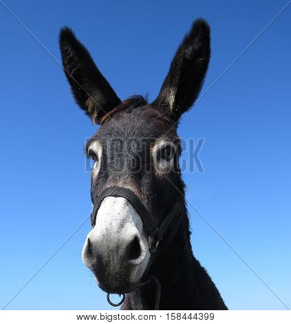 Looking at a species in extinction, donkey