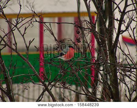 snow. Waxwing. Rowan. bird winter waxwing snow