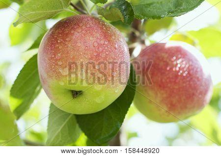 Beautiful organic ripe apples on a tree