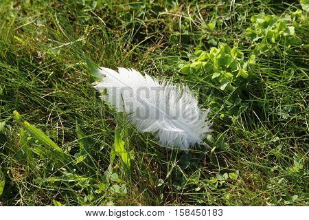 White feather lying in a field covered in morning dew.