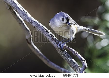 Tufted Titmouse posed coyly on tree branch