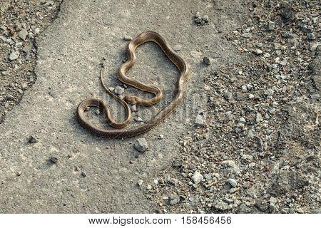 Brown Snake On Asphalt Road