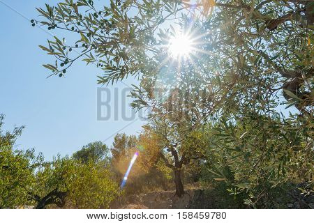 Sun through olive trees in groves of olives and almonds Castell de Castells Spain.