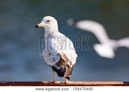 Ring-billed Gull Larus delawarensis perched on a fence water in background