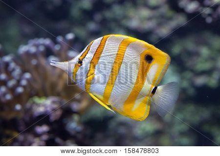 Copperband butterflyfish (Chelmon rostratus). Marine fish.
