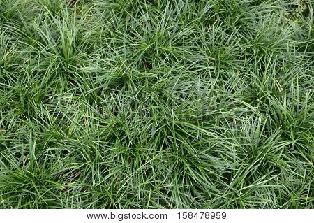 fresh green ophiopogon japonica plants in nature garden