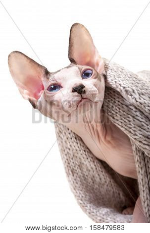 Canadian Sphynx cat with woolen knitted scarf close-up portrait isolated on white background