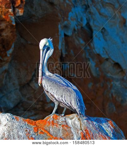 Male Pelican on oxidized Pelikan Rock in Cabo San Lucas Baja Mexico