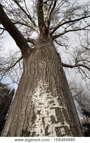 Poplar tree in winter. Trunk and branches of White Poplar (Populus alba) in winter. Photo taken in Retiro Park Madrid Spain