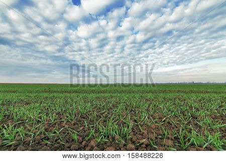Young Wheat  In Field..young Wheat Seedlings Growing In A Field