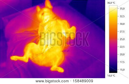 Thermal image photo french bulldog dog color scale