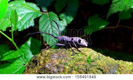 An close up shot of Morimus funereus or longhorn beetles,bug,insect, nature,