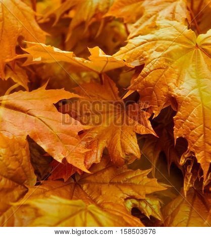 large maple leaves close up and different shades of golden, brown, light red, yellow, beautiful background and autumn view,