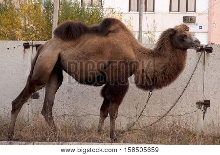 Brown camel on the streets of big city with a background od buildings and graffity