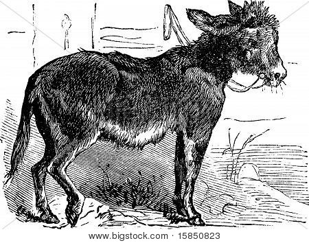 Domesticated Donkey, Ass, Asinus Vulgaris Or Equus Africanus Asinus Old Vintage Engraving.