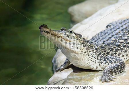 The Crocodile Lies On Water