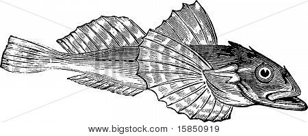 Bullhead Fish Or Acanthocottus Virginianus