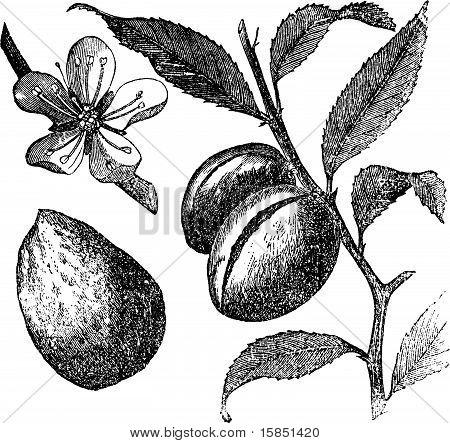 The Almond Tree Or Prunus Dulcis Vintage Engraving. Fruit, Flower, Leaf And Almond.
