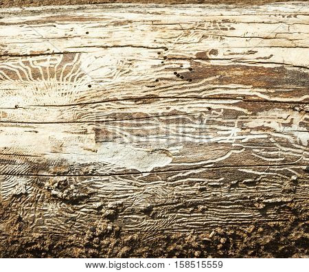 Bark beetle galleries engraving the sapwood of the tree trunk. Wooden texture.