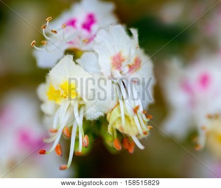 Close-up of white flowers of the horse-chestnut tree.