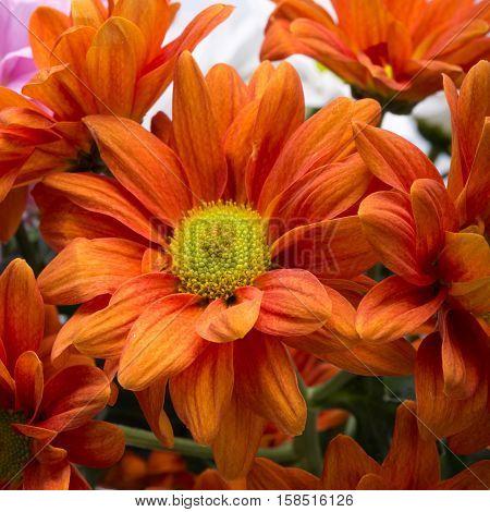 Close up of the orange chrysanthemum flowers