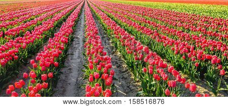 Backlit image with a landscape of colorful blooming tulip bulbs on the field of a specialized Dutch grower. It's a sunny day in springtime.