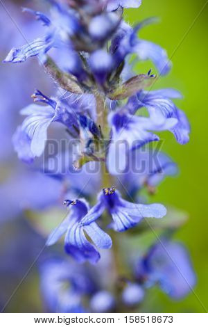 Blooming blue bugleweeds (Ajuga) in the summer meadow. Close up.