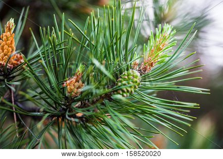 Scots pine branches with male pollen cones and female seed cones