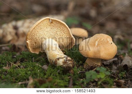 little edible mushrooms (Hydnum repandum) in forest